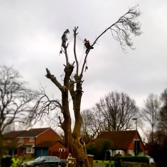 Nearly finished taking down this Ash tree in Horley.
